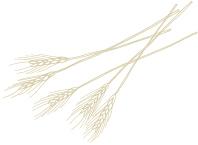 大麦(オルゾ)