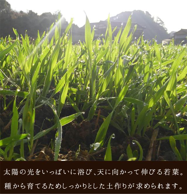 太陽の光をいっぱいに浴び、天に向かって伸びる若葉。種から育てるためしっかりとした土作りが求められます。