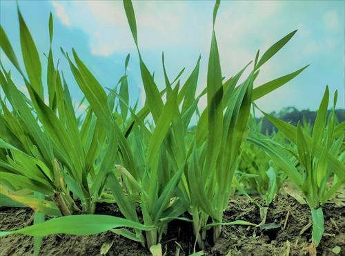 するり麦生育レポート2021早春